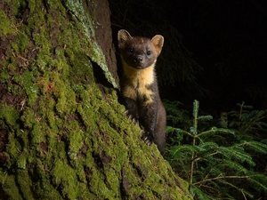 forest, marten, trees