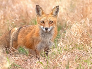ginger, dry, grass, Fox