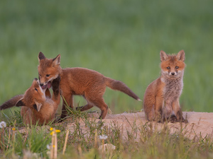 Three, foxes, fox, little doggies