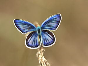 Fractalius, butterfly, blue
