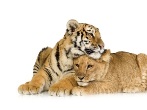 friends, Lioness, tiger