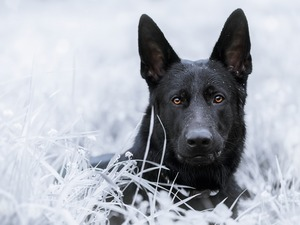 grass, German Shepherd, frosted