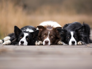 Dogs, fuzzy, background, Border Collie