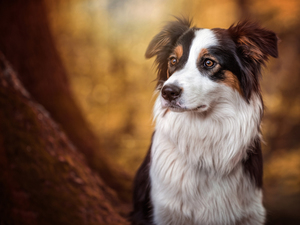 background, Border Collie, fuzzy