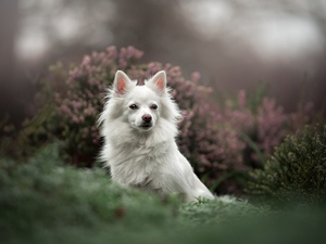 Japanese Spitz, White, fuzzy, heathers, muzzle, dog