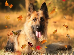 dog, Leaf, German Shepherd