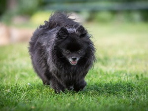 Black, German Spitz, grass, dog