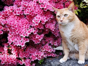 ginger, Flowers, Norwegian, Forest, cat