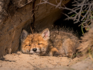 sleepy, Fox, hole, ginger