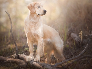 branch pics, dog, Golden Retriever