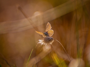 butterfly, stalk, grass, Dusky