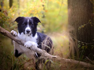 forest, Border Collie, viewes, branch, dog, trees, grass