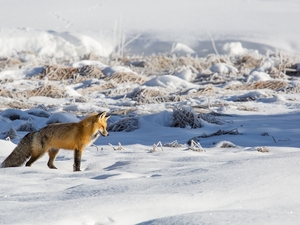 snow, grass, Fox, winter, ginger