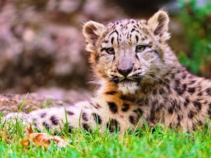 grass, young, snow leopard