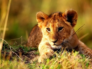 grass, young, lion