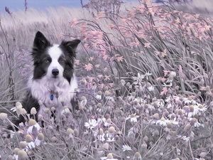 Meadow, dog, Plants, grass, Flowers, Border Collie