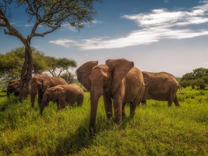 viewes, grass, savanna, trees, Elephants
