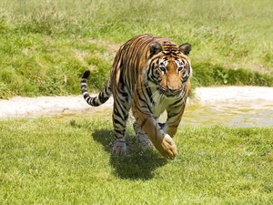 grass, tiger, stream