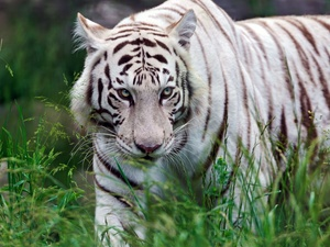 grass, White, tiger