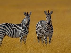 grass, Two, zebra