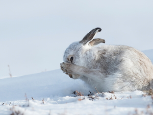 snow, white and gray, Wild Rabbit