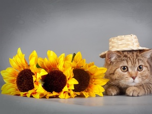 Nice sunflowers, kitten, Hat