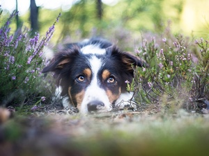 lying, muzzle, heather, Border Collie