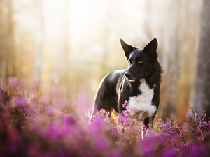 dog, Flowers, heathers, Border Collie