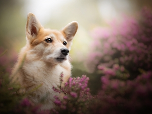 dog, muzzle, heathers, Welsh corgi pembroke