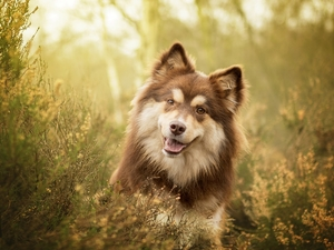 dog, muzzle, heathers, Finnish Lapphund