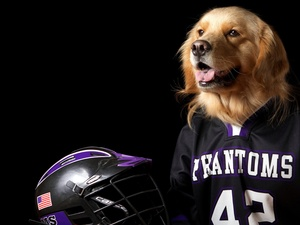 dog, Shirt, helmet, Golden Retriever