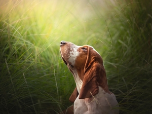 Head, grass, Basset Hound, The raised, dog