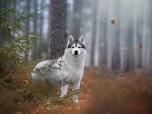 trees, viewes, Siberian Husky, forest, dog