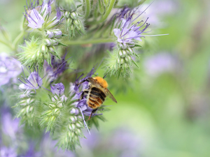 Insect, bee, Flowers, purple, Scorpionweed