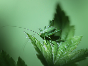 Insect, grasshopper, Green