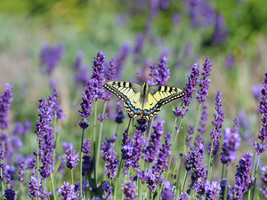 butterfly, Insect, lavender, Oct Queen