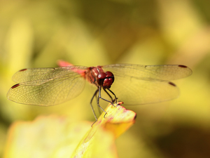 dragon-fly, Red, Insect, Ruddy Darter
