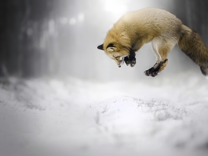 Fox, hunting, jump, snow