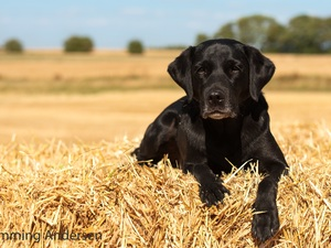 Puppy, Labrador Retriever, straw, Black