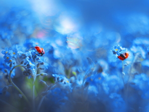 Two, ladybugs, Flowers, Forget, Blue