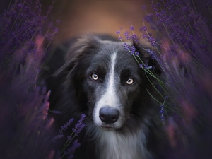 dog, muzzle, lavender, Border Collie