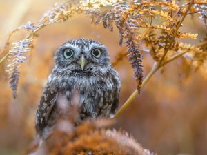branch, Little Owl, fuzzy, autumn, owl, Leaf, background
