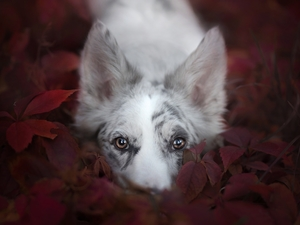 dog, muzzle, Leaf, Border Collie