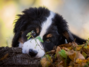 Bernese Mountain Dog, muzzle, Leaf, Puppy
