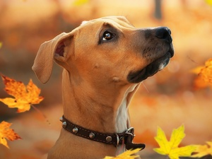 Rhodesian ridgeback, dog, Leaf, graphics, Falling, Puppy