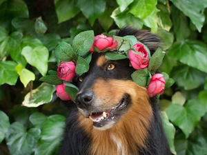 muzzle, dog, Flowers, Leaf, wreath, Australian Shepherd