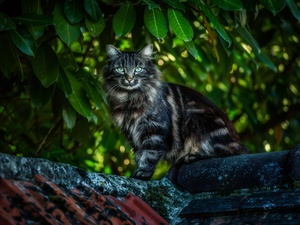 cat, the roof, Leaf, Maine Coon