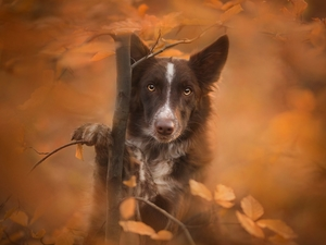 sapling, Border Collie, fuzzy, muzzle, dog, Leaf, background