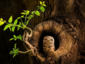 hollow, owl, branch, leaves, trees, Little Owl