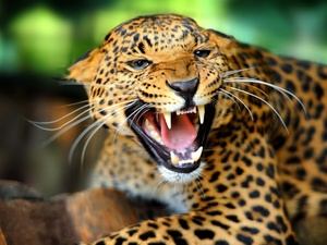 furious, Leopards